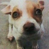 Un chien testé positif à l'héroïne et à la méthamphétamine