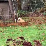 Le chien creuse dans le potager : sa famille le suit en secret et a droit à une grosse surprise ! (Vidéo)