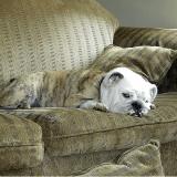 10 races de chiens pour humains pantouflards (Photos)