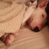 Maltraitée, cette chienne Bull Terrier découvre le plaisir d'un lit douillet pour la première fois