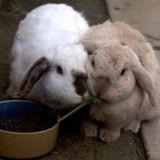 Ce lapin aveugle et sourd a une meilleure amie qui l'aide au quotidien (Photos)