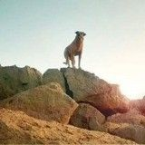 De chien de compagnie à sergent : l'incroyable parcours de Cabo