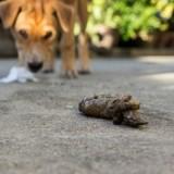 Pourquoi les chiens mangent-ils  leur caca ?