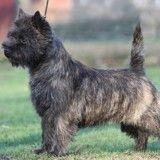 Cairn terrier : tout savoir sur cette race de chien