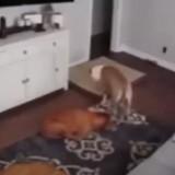 Il regarde ses deux chiens via sa caméra de surveillance et reste bouche bée en voyant ce qu'il se passe chez lui…