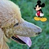Pour le « ridiculiser », un employé de sécurité de Disneyland Paris se voit confier… un Caniche