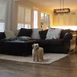 Seul à la maison, le Goldendoodle réalise qu'il est surveillé : sa réaction est très drôle (Vidéo)