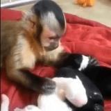 Quand un singe se prend d'amour pour des chiots (Vidéo du jour)