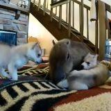 Les bébés Huskies turbulents et le capybara très patient (Vidéo du jour)