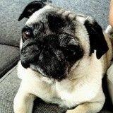10 vérités sur le Carlin qui prouvent qu'il est le meilleur des chiens