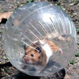 Les dangers de la boule d'exercice pour hamster