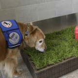 Des toilettes pour chiens de service inaugurées à l'aéroport de Détroit