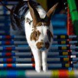 Le Rabbit Steeple Chase, une bondissante course d'obstacles pour lapins !
