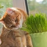 Pourquoi les chats mangent-ils de l'herbe ?