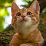 Top 10 des races de chats les plus intelligentes