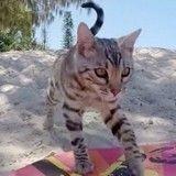 Boomer, le chat qui fait du skimboard comme un pro (Vidéo du jour)