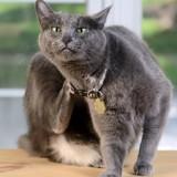 Les puces du chat : les repérer et les éliminer