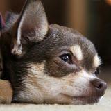 5 conseils pour laisser son chien seul la nuit du réveillon sans culpabiliser