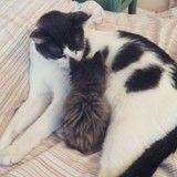 Ce chat a sauvé plus de 25 chatons et les a élevés comme les siens