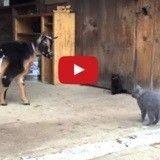 Quand deux chatons rencontrent des chèvres pour la première fois (Vidéo du jour)