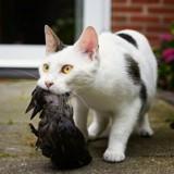 Chasse chez le chat : mon animal tue excessivement, faut-il réagir ?