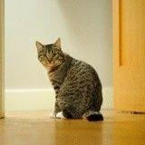 Pourquoi les chats miaulent quand ils entrent ou sortent d'une pièce ?