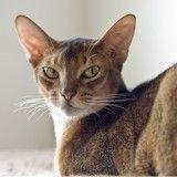 Le génome du chat domestique séquencé : une grande avancée pour la science