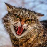 En Italie, un chat à Arezzo sème l'inquiétude en contractant le lyssavirus d'une chauve-souris
