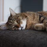 Le typhus du chat : comment lutter contre cette maladie mortelle