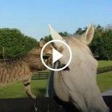 Adorable ! Ce chat fait des bisous à un cheval (Vidéo du jour)