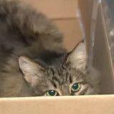Un chat est en train de miauler dans une boite. Quand elle comprend pourquoi elle appelle une ambulance
