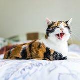 Ulcères de la bouche chez le chat : comment les prévenir et les soigner ?