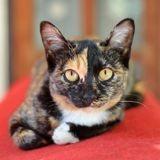 Comment différencier les chats calico, tortie et torbie ?