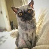 Ce chat errant qui a été rasé ressemble à un Carlin grognon (Photos)