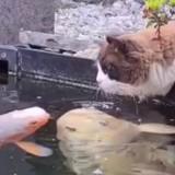 Le chat regarde les poissons dans l'étang et fait quelque chose de très spécial (Vidéo)