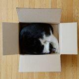 D'où vient la passion des chats pour les boîtes ? La réponse des scientifiques