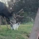 Un cerf et un chat filmés en train de se faire un bisou (Vidéo)