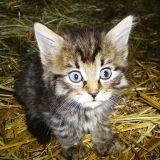 Génétique : un chat qui reste bébé toute sa vie