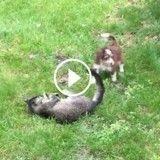 Ce chat et ce chien s'éclatent ensemble (Vidéo du jour)