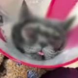 Elle dépense une fortune en chirurgie esthétique pour son chat car elle le trouve « trop moche »