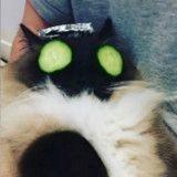 Mais que fait donc ce chat avec des concombres devant les yeux ?