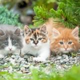 La couleur d'un chat influence-t-elle son caractère ?