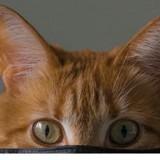 Coronavirus Covid-19 : les chats pourraient s'infecter entre eux d'après une étude