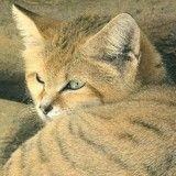 Une race de chat réapparaît après plus de 10 ans d'absence !