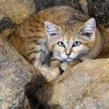 Des chatons du désert filmés pour la première fois (Vidéo)