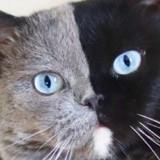 Ce chat au pelage incroyable a eu 2 chatons aux couleurs encore plus surprenantes !