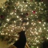 Les chats et les sapins de Noël, une si belle histoire d'amour à admirer en photos!