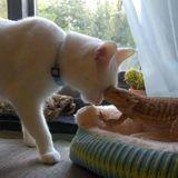 Ce chat blanc est meilleur ami avec un dragon barbu qui le suit dans tous ses mouvements ! (Vidéo)