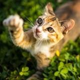 Votre chat est-il droitier ou gaucher ?