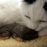 Mimi, le chat devenu la maman d'écureuils orphelins